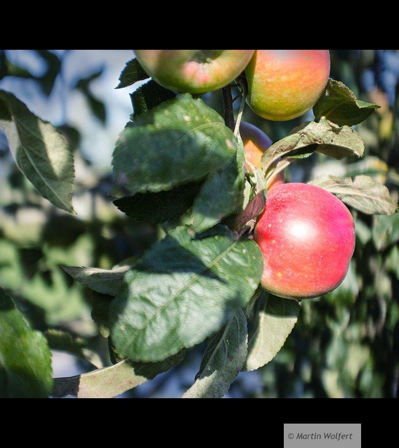 Autumn fruits #11