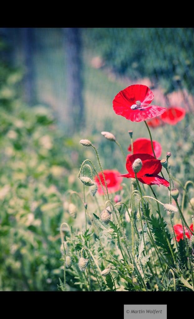 Tag #281 |Red poppy