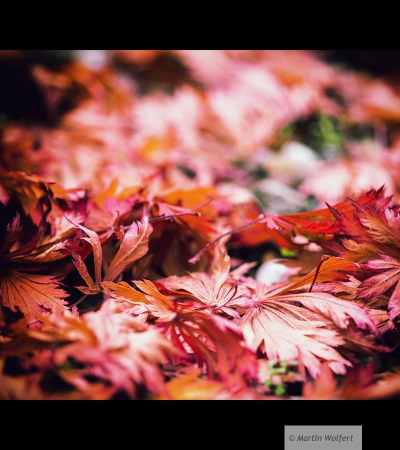 Red leaves #42